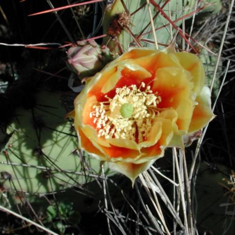 Orange-red flower on a cactus.
